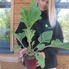 gunnera manicata rhubarb buy gunnera manicata
