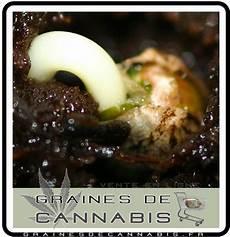 terre pour faire pousser cannabis quand semer les graines de cannabis