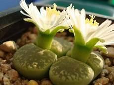 lebende steine arten lebende steine mehrere arten 100 samen versand gratis