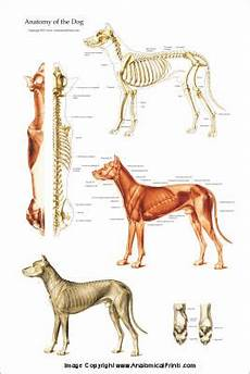 dog anatomical charts and posters