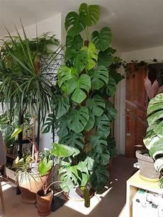tendance plante la monstera s invite 224 l int 233 rieur