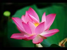 lotus flower nelumbo nucifera in pond water youtube