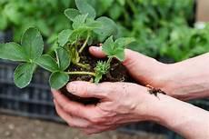 Erdbeeren Pflanzen Anbauen Vermehren Wurzelwerk