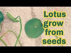 how to grow lotus from seed day how to grow lotus from seed at home in
