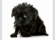 Everything about your Affenpinscher   LUV My dogs