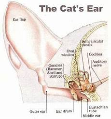 What S With That Slit On Your Cat S Ear And More On