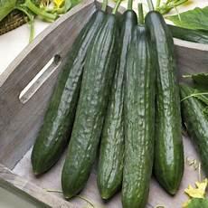 gurken die richtige sorte zum anbauen w 228 hlen plantura