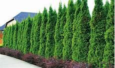 Tree Hedge Thuja Smaragd Groupon Goods