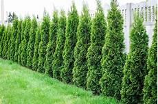 thuja smaragd pflanzen d 252 ngen und schneiden