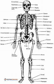 Anatomi Kerangka Tubuh Manusia Fisiologi Tubuh Manusia