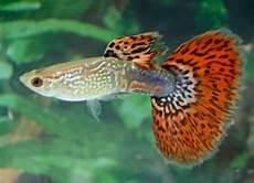 Jenis Ikan Jenis Jenis Ikan Koi Termahal Dan Terbaik