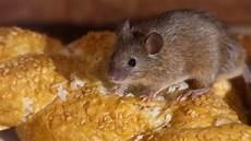 Mäuse Im Haus - m 228 use beschreibung und unterschiede tierabwehr net