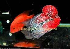 blog kumara tips merawat dan memilih ikan louhan yang bagus