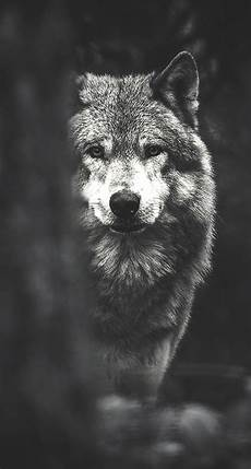 black and white wolf wallpaper iphone white wolf iphone wallpapers top free white wolf iphone