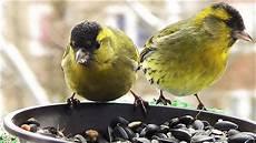 einheimische vögel im winter v 246 gel im winter ganz nah