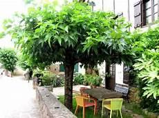 arbre pour petit jardin les muriers de beaux arbres d ornement avec des fruits