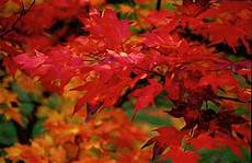 25 Best Images About Japanese Maple Fall Color On