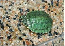 small green turtle image of bright macro 25254340