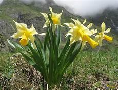jonquilles et narcisses jonquilles narcisses jacinthes et les orchid 233 es de