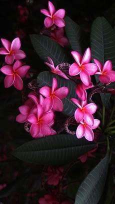 flower wallpaper on plumeria wallpaper 64 images