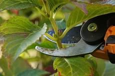 hortensien vermehren anzucht aus stecklingen erkl 228 rt