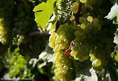 weinreben pflanzen brauchen viel sonne um viele trauben zu