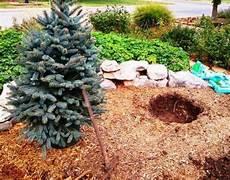 weihnachtsbaum im topf richtig pflegen und noch viele