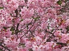 sfondi fiore fiori di ciliegio significato e immagini idee green