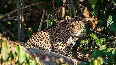 jaguar where do they live top 10 wildlife to spot in the