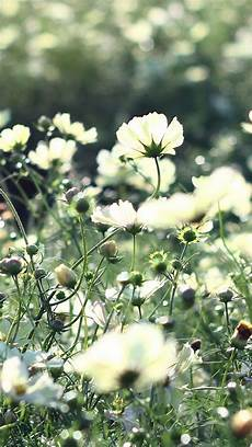 grass flower wallpaper iphone cosmos flowers field grass iphone 5s wallpaper iphone