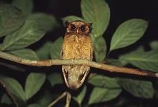 Mengenal Burung Hantu Celepuk Merah Burung Gue