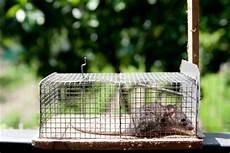 maus in der wohnung fangen mausefalle aufstellen so l 228 uft keine maus mehr in ihrem