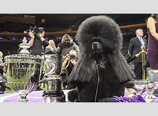 results westminster dog show