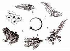 biologie quot gt metamorphose des frosches 01a lernen 252 ben