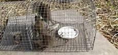 Comment Tuer Des Rats Dans Un Poulailler Taupier Sur La