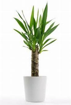 yucca palme zurückschneiden infos zur pflege yucca palmen garten yucca palme