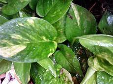 Why Money Plant As Feng Shui Wealth Cure Watering