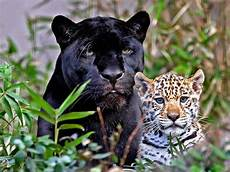 Jagat Kucing Panthera Onca Jaguar