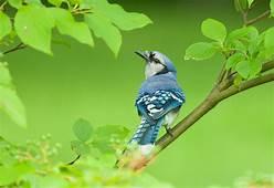 Wallpaper Blue Jay Bird 4k Animals 15000