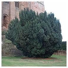 Eibe Taxus Baccata - taxus baccata