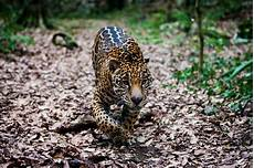 mexico jaguar population grows 20 in eight years environment the jakarta post