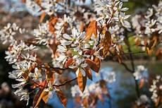 kupfer felsenbirne pflanzen d 252 ngen und schneiden