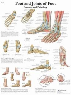 Anatomical Foot Diagram by Foot And Ankle Anatomical Chart Anatomy Poster