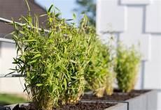 bambus im topf pflegen pflegehinweise dr garten
