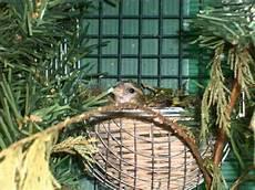cardellino in gabbia allevamento in voliera cardellino organetto ed altro