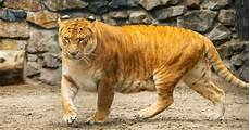 The About Ligers Tiger Hybrid Liger Sia