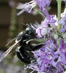 bienen niedrigere klassifizierungen apidae