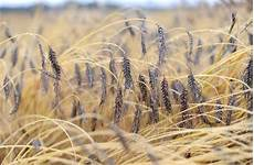 bauer im vorderen orient emmer dinkel und einkorn alte getreidesorten neu