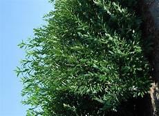 laurier haie pas cher grande laurier caucase 250 cm prunus caucasica vente