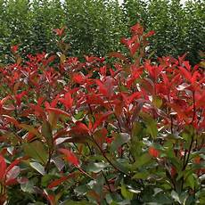 Photinia Fraseri Robin - photinia robin 90 120cm 10l pot hedges direct uk